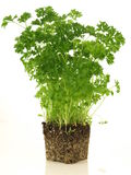 Parsley. Plant without flowerpot on isolated background Royalty Free Stock Photos
