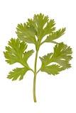 parsley royaltyfri foto