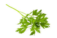 Parsley Arkivfoton