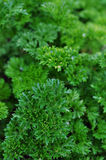 Parsley. (Petroselinum hortense) bush used as herb, spice and vegetable Royalty Free Stock Image