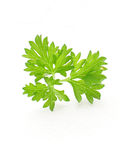 Parsley. (Petroselinum hortense) used as herb, spice and vegetable,  on a white background Stock Photo