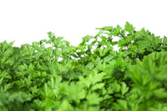 Parsley. Stock Image