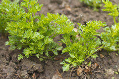 Parsley. Green parsley on the ground Stock Images
