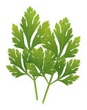 Vector parsley Stock Photography