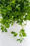 parsley Arkivfoto