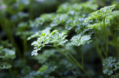 parsley 4 Royaltyfria Bilder