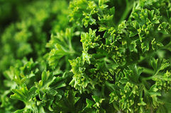 Parsley. Close up of fresh parsley stock photo