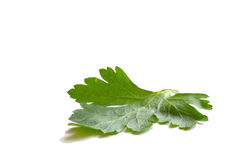 Parsley. Leaf stock photos