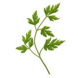 Parsley aka cilantro isolated Stock Photo