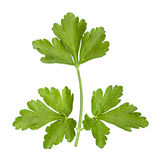 Parsley aromatic herb Royalty Free Stock Images