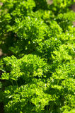 Parsley background Royalty Free Stock Image