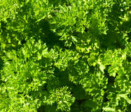 Parsley background Stock Images