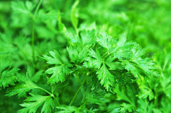 Parsley background Royalty Free Stock Photos