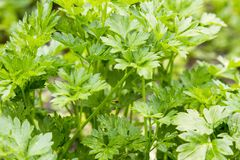 Parsley on the beds. Selective focus. Healthy food. Horticulture. row vegetarian food. Food to increase potency.  Royalty Free Stock Photography