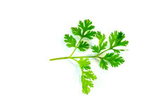 Parsley. Is a biennial plant that is grown easily available with almost every food category stock photography