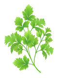 Parsley branch. Green parsley branch. Created using gradient meshes vector illustration