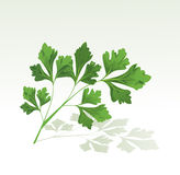 Parsley branch Royalty Free Stock Photos