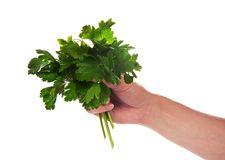 Parsley bunch in female hand Stock Photos