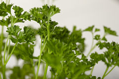Parsley bush Royalty Free Stock Photography