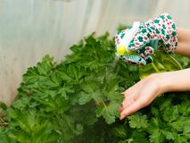 Parsley Bush Watering Stock Photos
