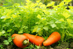 Parsley and carrot - organic food Stock Image