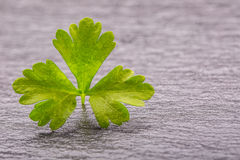 Parsley or celery twig. Fresh parsley top on granite board. Stock Photography