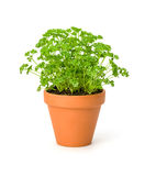 Parsley in a clay pot. On a white background royalty free stock images