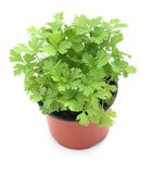 Parsley. Close-up of parsley in planting pot on white background stock photo