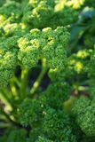 Parsley closeup. Full frame in vegetable garden royalty free stock image