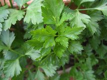 Parsley Continental Flat Leaf Stock Photos