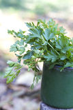 Parsley in cup in the garden. Parsley in green cup in the garden Stock Photo