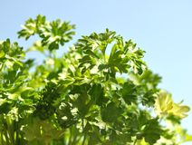 Parsley cut-out Royalty Free Stock Image