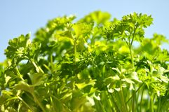 Parsley cut-out Stock Photography