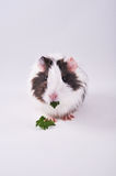 Parsley eating guinea pig royalty free stock photo