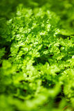 Parsley field Royalty Free Stock Image