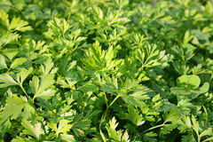 Parsley In Field Royalty Free Stock Photo