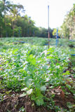 Parsley. Field agriculture on sunny day Royalty Free Stock Photography