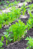 Parsley on the field , close-up Stock Photos