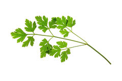 Parsley. Flat-leaved Parsley (Petroselinum crispum) - single leaf isolated against white background Stock Image