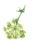 Parsley flower Stock Photo