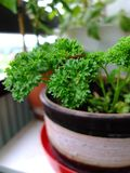 Parsley in flowerpot. Royalty Free Stock Photo