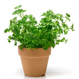 Parsley in a flowerpot Royalty Free Stock Images