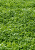 Parsley Fresh Crop Stock Photos