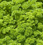 Parsley in the garden Stock Photography