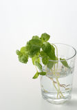 Parsley in glass Royalty Free Stock Photo