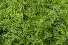 Parsley Green Crop stock image