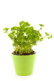 Parsley in green flower pot Stock Image