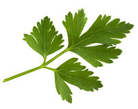 Parsley green leaf royalty free stock photo