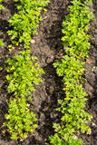 Parsley. Green parsley in the vegetables garden in sunny day Stock Image