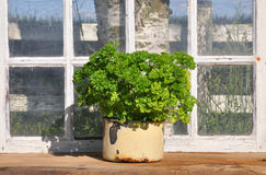 Parsley in greenhouse Stock Images